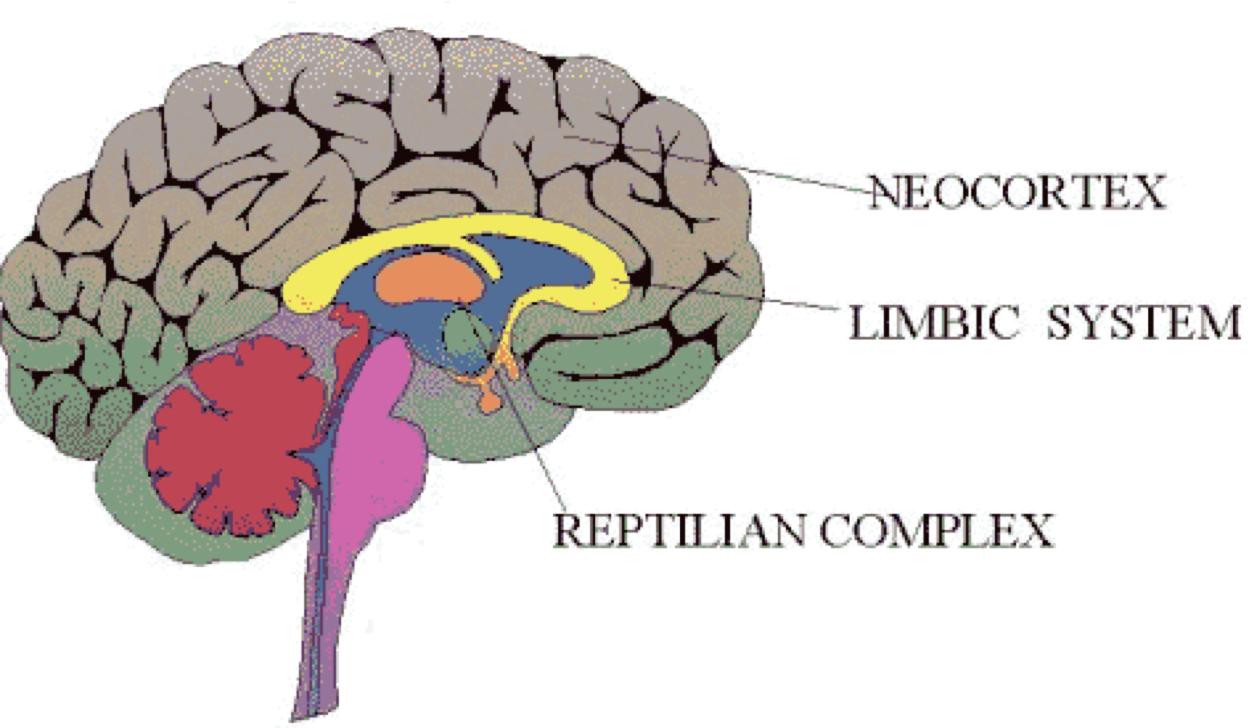 neocortex, limbicsystem